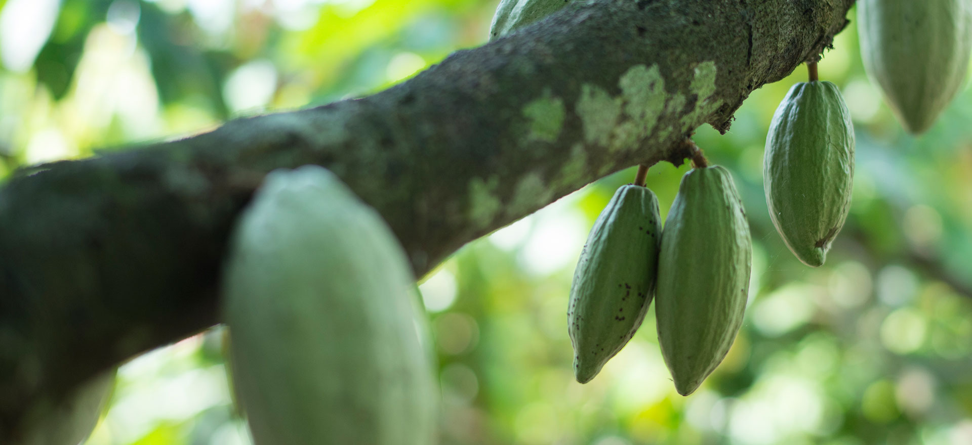 Picture of Cocoa tree branch with cocoa fruits hanging off.