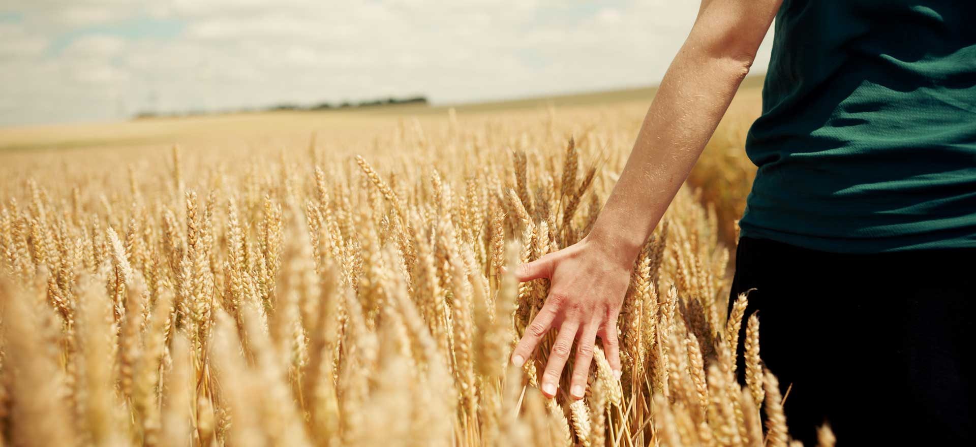 Person walking through a wheat field while grazing the wheat with their hand.